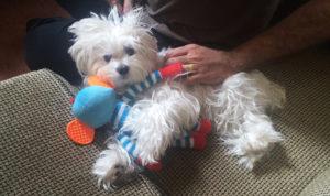Natalie Barat Maltese dog