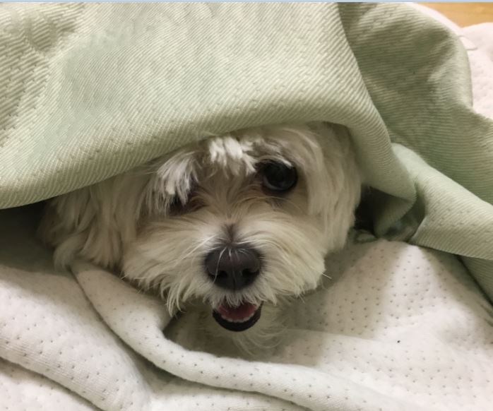 My pup under covers